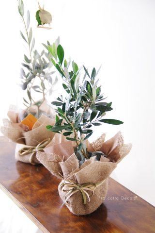 贈呈用オリーブ(鉢植え)-wpb1701