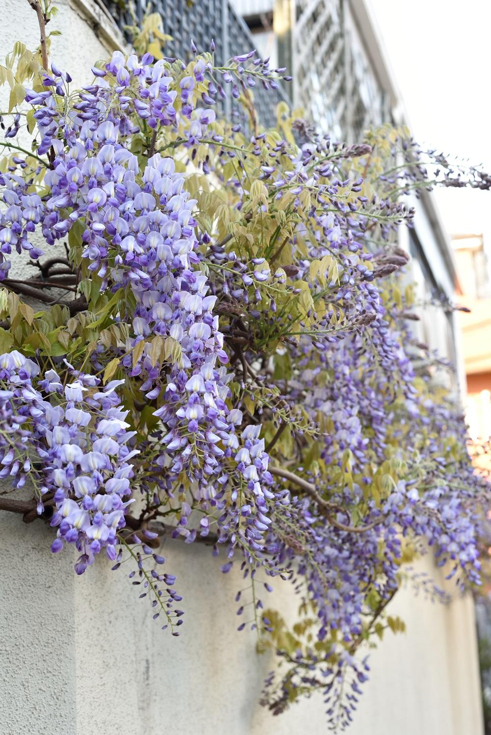 春です!壁に藤を誘引してみたら、藤棚ならぬ藤壁ができあがりました