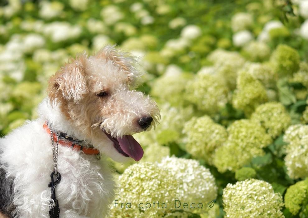 まるで白い絨毯のような紫陽花(アナベル)を探して。