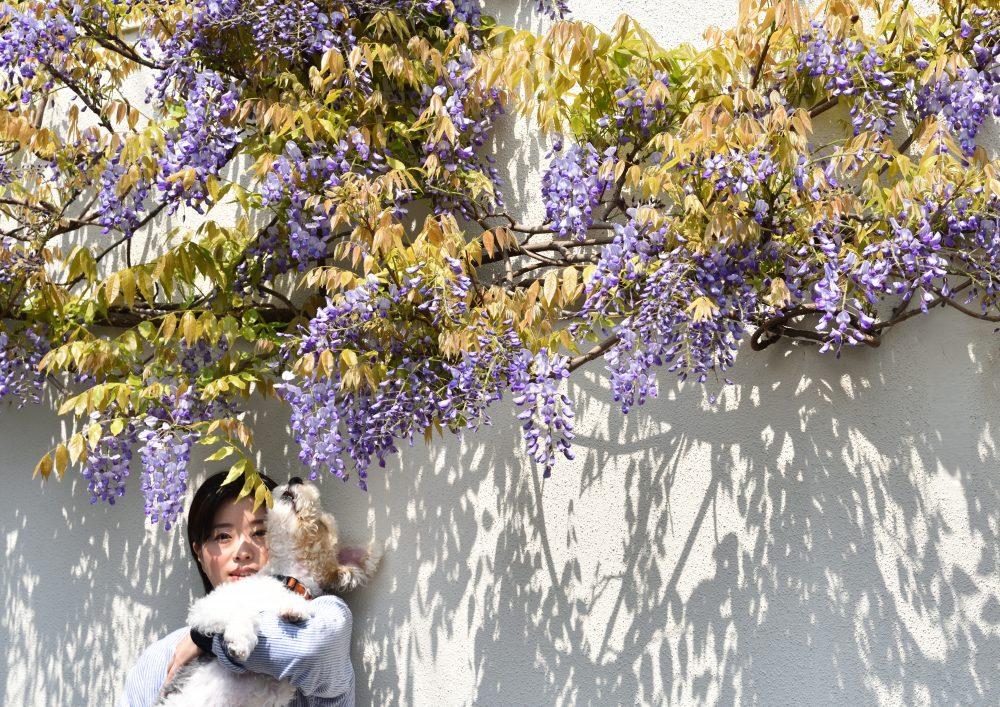 今年も見事な藤を咲かせました!!