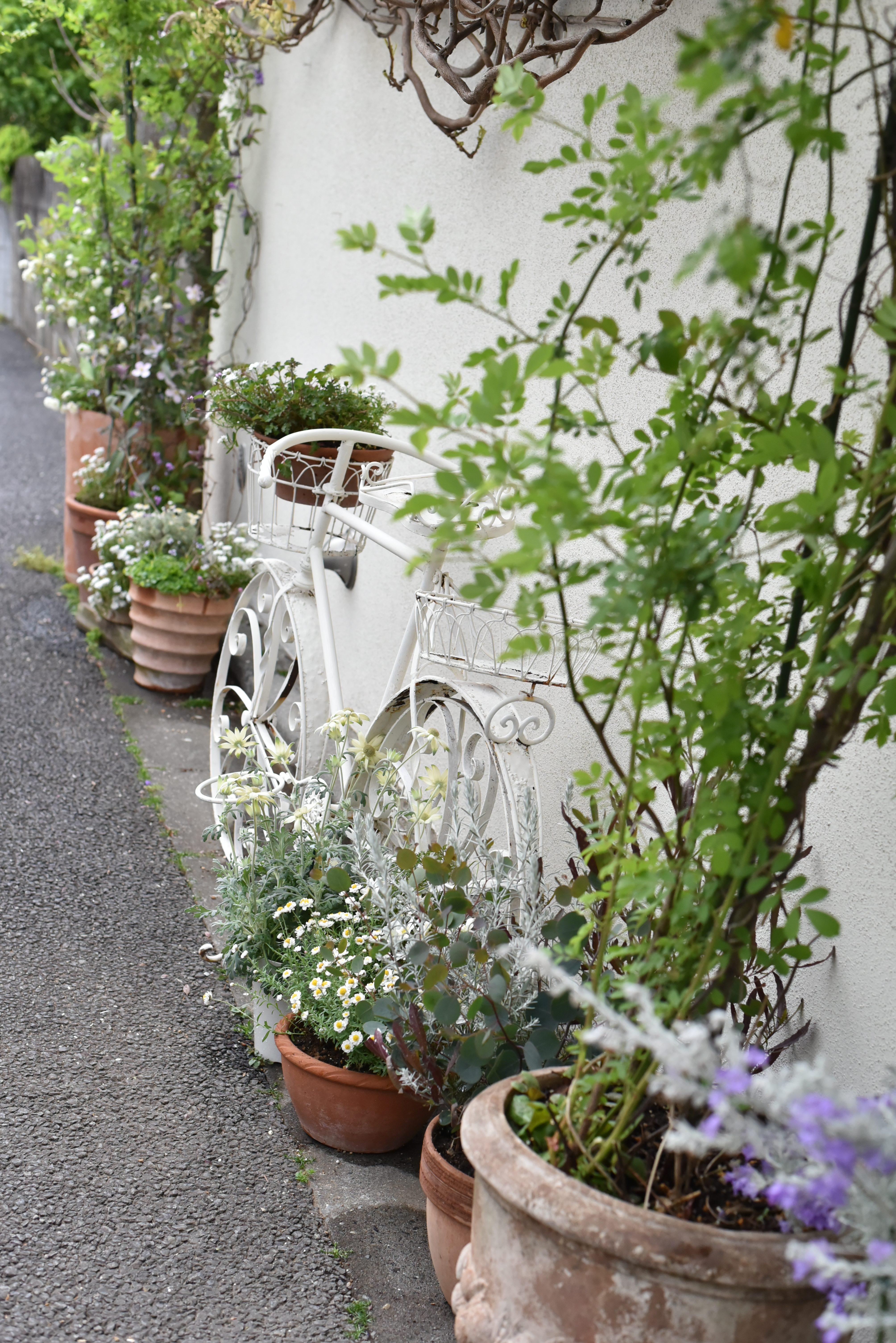 フラコッタ デコの店の入り口で咲き乱れる「藤」の花。今年の状態は?