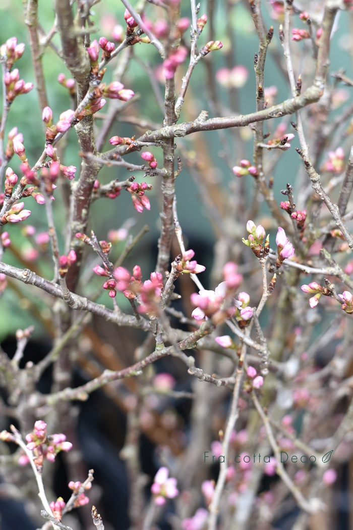 春の節句。桃や桜が入荷しています。