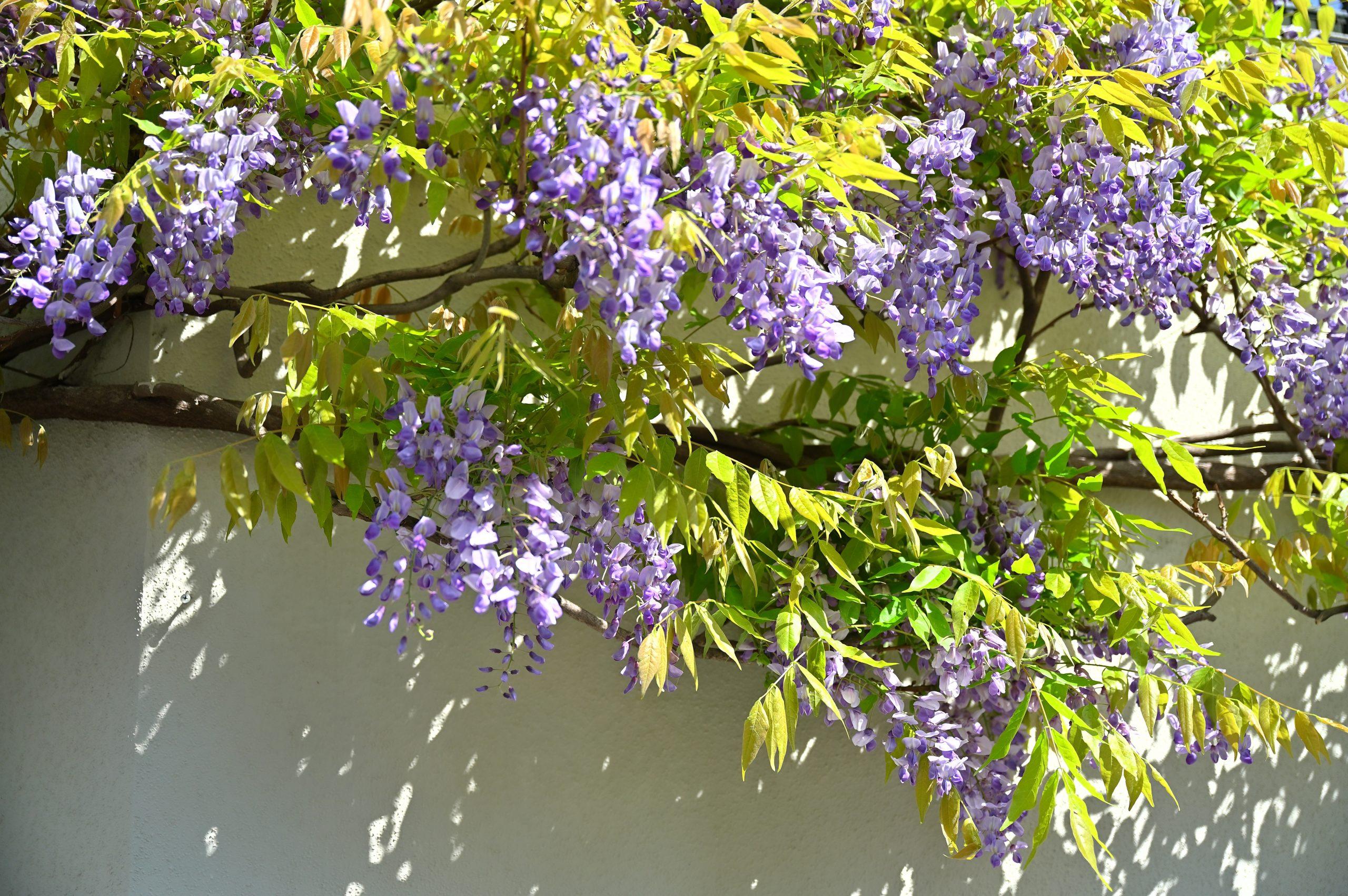 フラコッタ デコの藤が満開を迎えております!